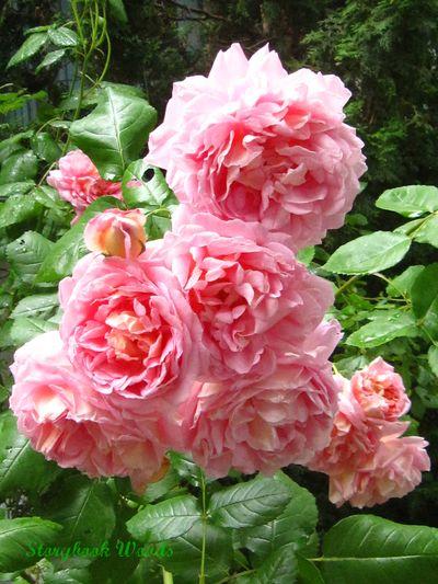 June roses 303