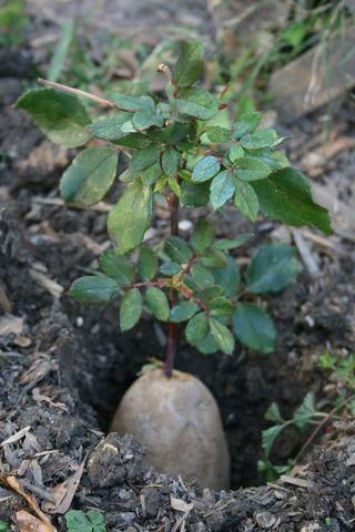 Rose potatoe
