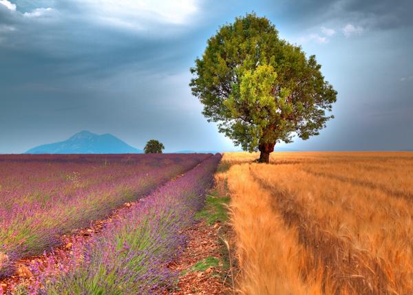 Lavender-Barley-Field1