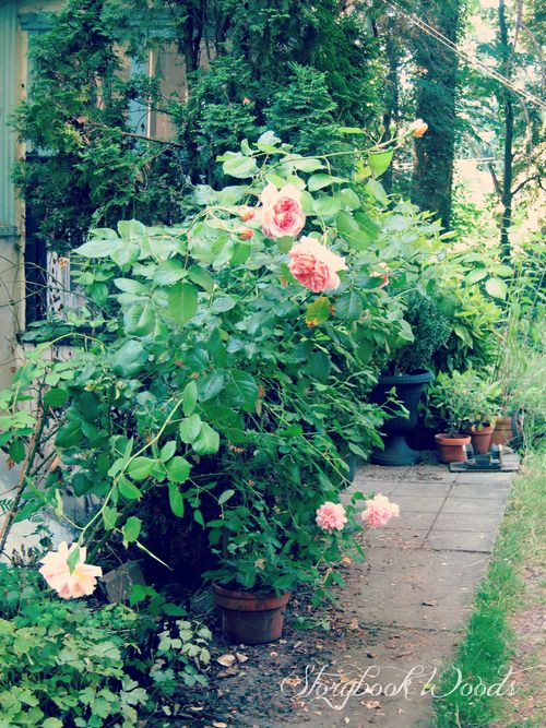 Rose path5